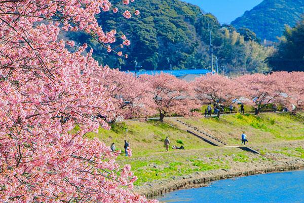みなみの桜で河津桜を