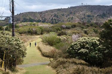 金冠山|伊豆市|伊豆の低山登山の定番!金冠山でマメザクラのお花見ハイキング