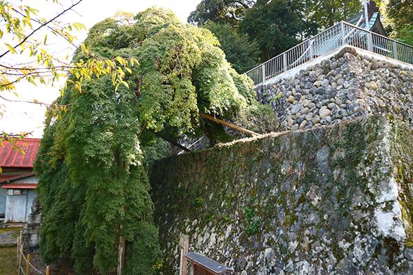 伊豆市の青埴神社のしだれイロハカエデ
